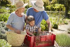 Grandparents With Granddaughter Working On Allotment Together royalty free stock image