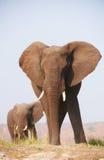 Grands éléphants africains Photos stock