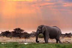 Grands éléphants africains dans Etosha Images libres de droits