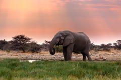 Grands éléphants africains dans Etosha Photographie stock libre de droits
