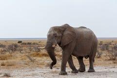 Grands éléphants africains sur le parc national d'Etosha Photos libres de droits
