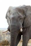 Grands éléphants africains sur le parc national d'Etosha Image libre de droits