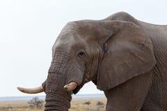 Grands éléphants africains sur le parc national d'Etosha Images libres de droits