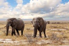Grands éléphants africains sur le parc national d'Etosha Photos stock