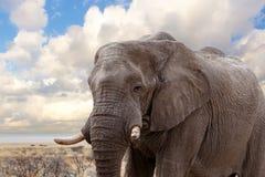 Grands éléphants africains sur le parc national d'Etosha Photo stock