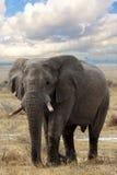 Grands éléphants africains sur le parc national d'Etosha Images stock