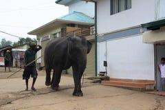 Grands éléphants bruns étant conduits sur des rues de ville photographie stock libre de droits
