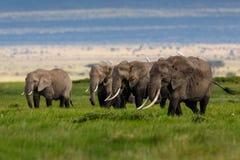 Grands éléphants mangeant l'herbe Photos stock