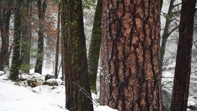 Grands arbre de séquoia et neige d'entraînement clips vidéos