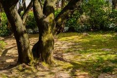 Grands arbres couverts de la mousse dans la clairière Photographie stock