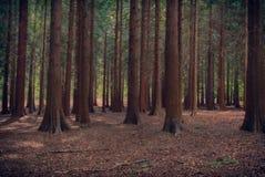 Grands arbres dans une forêt foncée Photo libre de droits