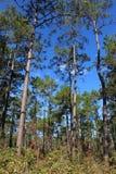 Grands arbres de bosquet Images libres de droits