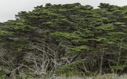 Grands arbres de cyprès côtiers dans la réservation d'état de Lobos de point image libre de droits