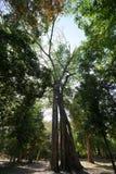 Grands arbres de Tetrameles chez Prasat Tor Area dans Sambor Prei Kuk au Cambodge photo libre de droits