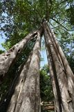 Grands arbres de Tetrameles chez Prasat Tor Area dans Sambor Prei Kuk au Cambodge images stock