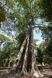 Grands arbres de Tetrameles chez Prasat Tor Area dans Sambor Prei Kuk au Cambodge images libres de droits