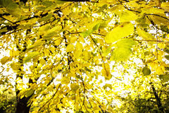 Grands arbres jaunes dans le contre-jour, paysage naturel d'automne Photo libre de droits