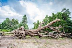 Grands arbres morts Image libre de droits