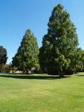 Grands arbres toujours d'actualité Photos libres de droits