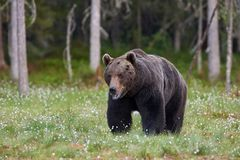 Grands arctos d'Ursus d'ours brun Photos stock