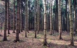 Grands bois ou forêt de pins en Slovénie Image stock