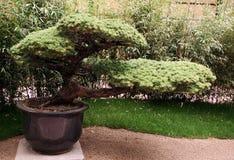 Grands bonsaïs dans un pot sur le pentaphylla de pinus de terrasse Image stock