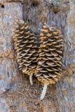 Grands cônes de pin se reposant sur l'écorce Photographie stock