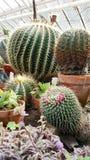 Grands cactus dans Sofia Botanical Garden image stock