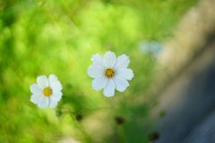 Grands camomiles blancs Images stock