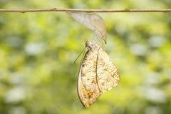 Grands cardamines oranges émergés ha d'Anthocharis de papillon d'astuce Photographie stock libre de droits