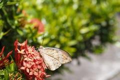 Grands cardamines oranges d'Anthocharis de papillon d'astuce reposant o Photo libre de droits