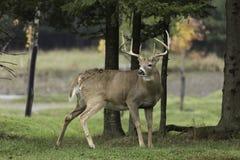 Grands cerfs communs dans les bois Image stock