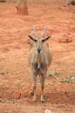 Grands cerfs communs sauvages avec les klaxons courts Photos libres de droits