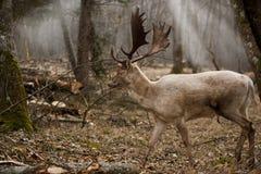 Grands cerfs communs sauvages européens de mâle dans les bois dans la chute photo libre de droits