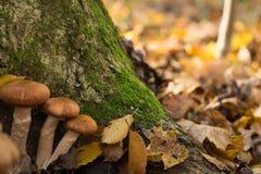 Grands champignons bons dans une forêt images stock