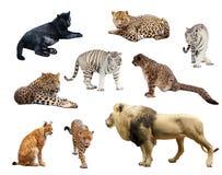 Grands chats sauvages au-dessus du fond blanc photo stock