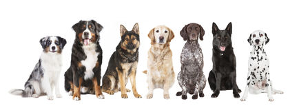 Grands chiens d'isolement images stock