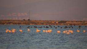 Grands cormorans en vol au crépuscule Photos libres de droits