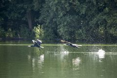 Grands cormorans volant au-dessus du lac photographie stock libre de droits