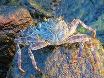 Grands crabe et roche Photos stock