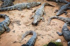 Grands crocodiles au Cambodge Photographie stock libre de droits