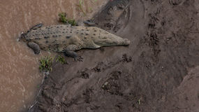 Grands crocodiles en Costa Rica Photo libre de droits