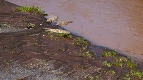 Grands crocodiles en Costa Rica Photos libres de droits