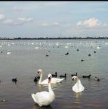 Grands cygnes blancs sur l'eau, avec de petits cygnes noirs image libre de droits
