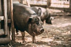 Grands démangeaison noirs de porc du ménage A au sujet de barrière In Farm Yard Porc images stock