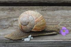 Grands escargots avec la fleur blanche dans le jardin sur un plan rapproché en bois de fond Images libres de droits