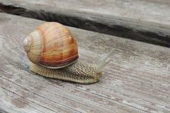 Grands escargots dans le jardin sur un plan rapproché en bois de fond Photographie stock
