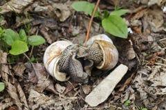 Grands escargots dans le sauvage Image libre de droits