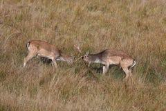Grands et beaux cerfs communs affrichés dans l'habitat de nature dans la République Tchèque combat Image libre de droits