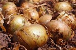 Grands et ensoleillés oignons au potager, Espagne image stock